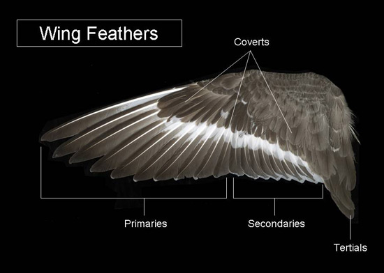 The major types of wing feathers are illustrated below and defined in