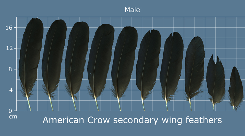 The Feather Atlas Feather Identification And Scans Us Fish And