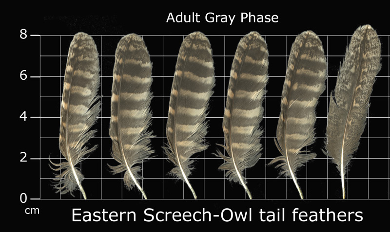 The Feather Atlas - Feather Identification and Scans - U.S ...