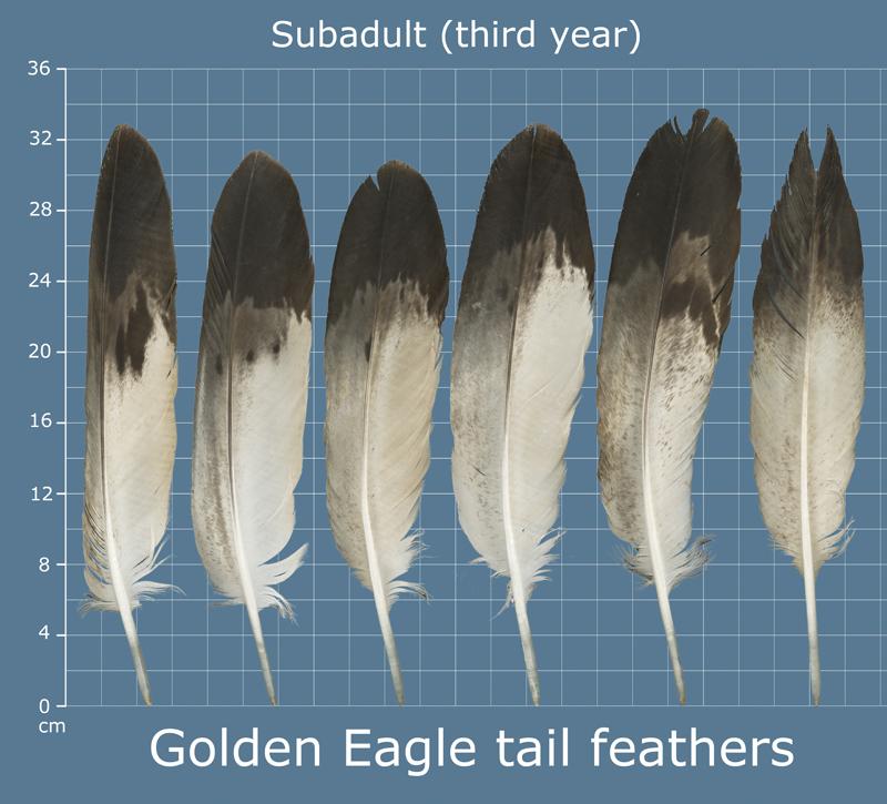 Sle Of An Imitation Im 11 Golden Eagle Feather Tail Set