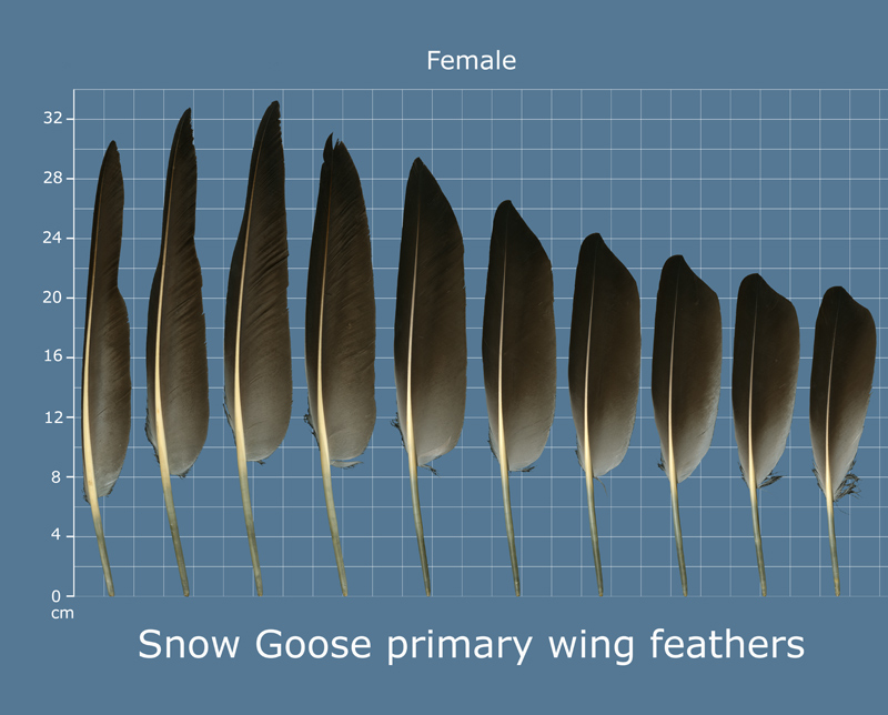 the feather atlas feather identification and scans u s. Black Bedroom Furniture Sets. Home Design Ideas