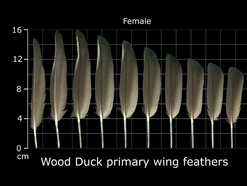The Feather Atlas - Feather Identification And Scans